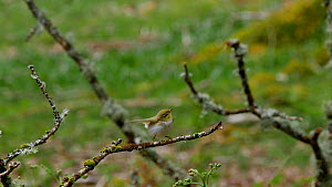 Wood warbler (Phylloscopus sibilatrix) displaying, Carmarthenshire, Wales, UK, May.  -  Dave Bevan