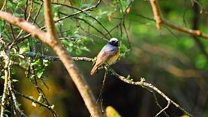 Male Common redstart (Phoenicurus phoenicurus) preening before flying out of frame, Carmarthenshire, Wales, UK, May. - Dave Bevan