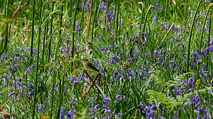 Willow warbler (Phylloscopus trochilus) approaching nest site in Bluebells (Hyacinthoides non-scripta), Carmarthenshire, Wales, UK, May.  -  Dave Bevan