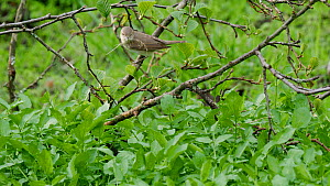 Pair of Garden warblers (Sylvia borin) bringing dry grass for nest building to nest site, Carmarthenshire, Wales, UK, May.  -  Dave Bevan