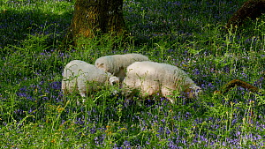 Welsh mountain sheep (Ovis aries) grazing amongst Bluebells (Hyacinthoides non-scripta), Carmarthenshire, Wales, UK, May. - Dave Bevan