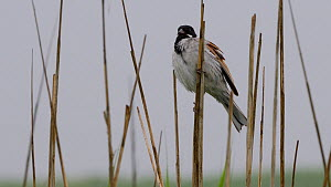 Male Reed bunting (Emberiza schoeniclus) preening, perched on reeds, Lincolnshire, England, UK, June.  -  Dave Bevan