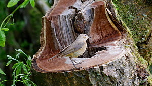 Female Common redstart (Phoenicurus phoenicurus) arriving at nest hole with food for her chicks, Carmarthenshire, Wales, UK, June. - Dave Bevan