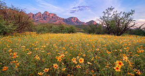 Arizona poppy (Kallstroemia grandiflora) blooming amongst Mesquite (Prosopsis sp) trees with Santa Catalina mountains in background. Post summer monsoon rains, evening light. Sonoran Desert, Catalina... - Jack Dykinga