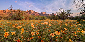 Arizona poppies (Kallstroemia grandiflora) blooming amongst Mesquite (Prosopsis sp) trees with Santa Catalina mountains in background. Post summer monsoon rain, evening light. Sonoran Desert, Catalina... - Jack Dykinga