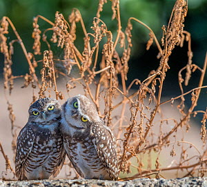 Burrowing owl (Athene cunicularia), two huddled together. Marana, Pima County, Arizona, USA. - Jack Dykinga