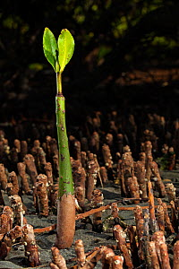 Red Mangrove (Rhizophora mangle) seedling, Bahia Magdalena, Baja California Peninsula, Mexico, June - Claudio  Contreras