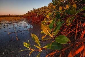 Red mangrove (Rhizophora mangle), Bahia Magdalena, Baja California Peninsula, Mexico, June - Claudio  Contreras