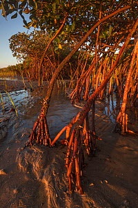 Red Mangrove (Rhizophora mangle) at low tide, Bahia Magdalena, Baja California Peninsula, Mexico, June - Claudio  Contreras