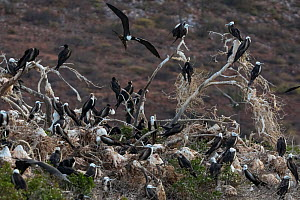 Magnificent frigatebird (Fregata magnificens) colony, Espiritu Santo National Park, Sea of Cortez (Gulf of California), Mexico, February - Claudio  Contreras