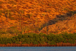 Red Mangrove (Rhizophora mangle) forest and desert, Balandra Reserve near La Paz, Sea of Cortez (Gulf of California), Baja California, Mexico, February - Claudio  Contreras