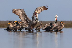 Brown Pelican (Pelecanus occidentalis) and Double-crested Cormorant (Phalacrocorax auritus), Guerrero Negro, El Vizcaino Biosphere Reserve, Baja California, Mexico, March  -  Claudio  Contreras