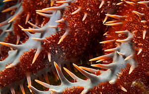 Crown of Thorns seastar (Acanthaster planci) detail, Espiritu Santo National Park, Sea of Cortez (Gulf of California), Mexico, February  -  Claudio  Contreras