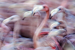 Blurred motion image of Caribbean flamingo (Phoenicopterus ruber) juveniles, captured to be tagged and released to the wild, captive, Ria Lagartos Biosphere Reserve, Yucatan Peninsula, Mexico, Septemb... - Claudio  Contreras