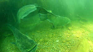 Group of Wels catfish (Silurus glanis) fighting, River Ebro, Spain, April.  -  Remi Masson