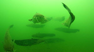 Group of Wels catfish (Silurus glanis) swimming in the River Rhone, with one swimming into the camera, France, July.  -  Remi Masson
