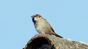 Male House sparrow (Passer domesticus) vocalising, Bavaria, Germany, March.  -  Konrad  Wothe