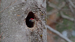 Male Black woodpecker (Dryocopus martius) excavating nesthole, throwing chipped wood out, Bavaria, Germany, April.  -  Konrad  Wothe