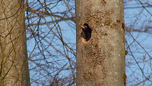 Male Black woodpecker (Dryocopus martius) excavating nesthole in tree trunk, throwing chipped wood out, Bavaria, Germany, April.  -  Konrad  Wothe
