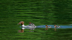 Female Goosander (Mergus merganser) looking for food underwater, with chicks swimming nearby and riding on her back, Bavaria, Germany, May.  -  Konrad  Wothe