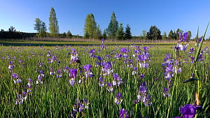 Siberian irises (Iris sibirica) growing in a field, Bavaria, Germany, May. - Konrad  Wothe