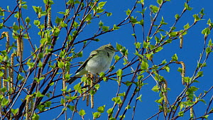Male Willow warbler (Phylloscopus trochilus) singing, Bavaria, Germany, April.  -  Konrad  Wothe