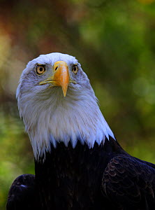 """Bald Eagle (Haliaeetus leucocephalus) named """"Majesty"""" at the American Eagle Foundation, Pigeon Forge, Tennessee, November 2017  -  Oliver Hellowell"""
