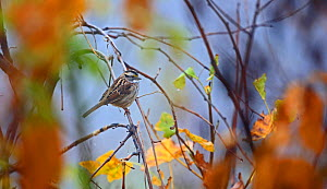 White crowned sparrow (Zonotrichia leucophrys) in Smoky Mountains, Tennessee, USA. November.  -  Oliver Hellowell