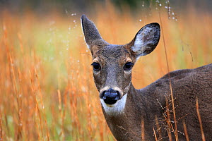 White tailed deer (Odocoileus virginianus) in Cades Cove, Tennessee, USA. November. - Oliver Hellowell