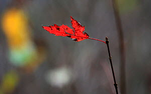 Maple leaf (Acer sp) which is ragged in autumn, Tennessee, November.  -  Oliver Hellowell