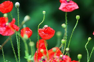 Poppies (Papaver sp) in flower, England, UK, August. - Oliver Hellowell
