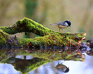 Coal tit (Periparus ater) on mossy log with reflection, England, UK. January.  -  Oliver Hellowell