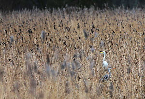 Grey heron (Ardea cinerea) and Little egret (Egretta garzetta) in reeds at Ham Wall RSPB reserve, England, UK. January.  -  Oliver Hellowell