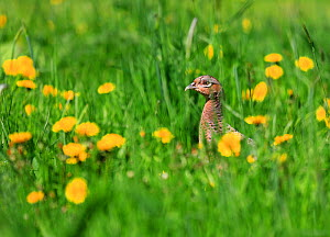 Pheasant (Phasianus colchicus) female in grass with Dandelion flowers, England, UK. May 2018 - Oliver Hellowell