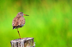 Redshank (Tringa totanus) on post at Ham Wall RSPB reserve, Somerset, England, UK. June.  -  Oliver Hellowell