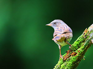 Dunnock (Prunella modularis) on mossy stick, England, UK. September.  -  Oliver Hellowell