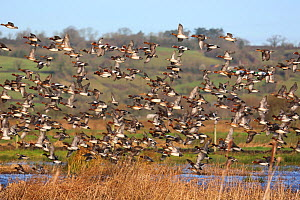 Wigeon (Anas penelope) and a few Northern shovelers (Anas clypeata) taking off from Greylake RSPB reserve in Somerset, England, UK. January.  -  Oliver Hellowell