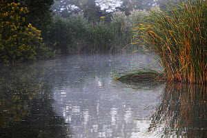 Reeds and morning mist at Pavyotts Mill carp fishery East Coker, Yeovil, England, UK. July 2014 - Oliver Hellowell
