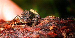Common frog (Rana temporaria) on bark, Perthshire, Scotalnd, England, UK. August.  -  Oliver Hellowell