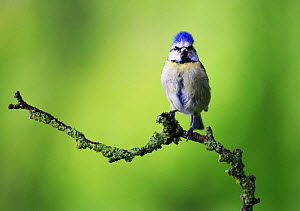 Blue tit (Cyanistes caeruleus) on lichen-covered twig, England, UK May 2015  -  Oliver Hellowell