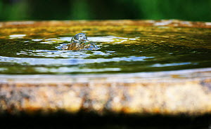 Bubbling water in fountain at Tretower Court, near Crickhowell, Powys, Wales, UK. July  -  Oliver Hellowell