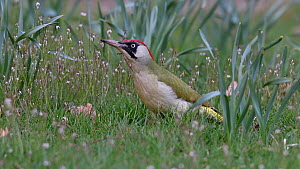 Green woodpecker (Picus viridis) foraging on the ground, Bavaria, Germany, April.  -  Konrad  Wothe