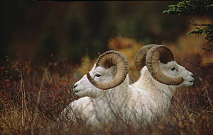 Dall sheep / Thinhorn sheep (Ovis dalli) two rams resting, Denali National Park, Alaska, USA.  -  TOM MANGELSEN