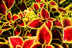 Foliage of Coleus plant.  -  Oliver Hellowell