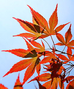Maple leaves (Acer sp) in autumn, Westonbirt, England, UK.  -  Oliver Hellowell