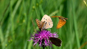 Slow motion clip of Ringlet (Aphantopus hyperantus) nectaring on a Knapweed (Centaurea) flower with a False heath fritillary (Melitaea diamina), disturbed by another (Melitaea)  Bavaria, Germany, July...  -  Konrad  Wothe
