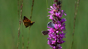Slow motion clip of two Blue butterflies (Lycaenidae) nectaring on Purple loosestrife (Lythrum salicaria), disturbed by a Skipper (Thymelicus) Bavaria, Germany, July. - Konrad  Wothe