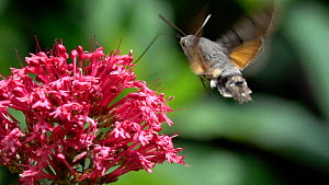 Slow motion clip of a Hummingbird hawkmoth (Macroglossum stellatarum) nectaring from a Red valerian (Centranthus ruber) flower, Bavaria, Germany, June. - Konrad  Wothe