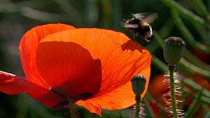 Slow motion clip of a Buff tailed bumblebee (Bombus terrestris) landing in a Common poppy (Papaver rhoeas) flower, Germany, June.  -  Konrad  Wothe