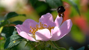 Slow motion clip of an Early Bumblebee (Bombus pratorum) taking off from a Dog rose (Rosa canina) flower, showing pollen pouches, Germany, June.  -  Konrad  Wothe